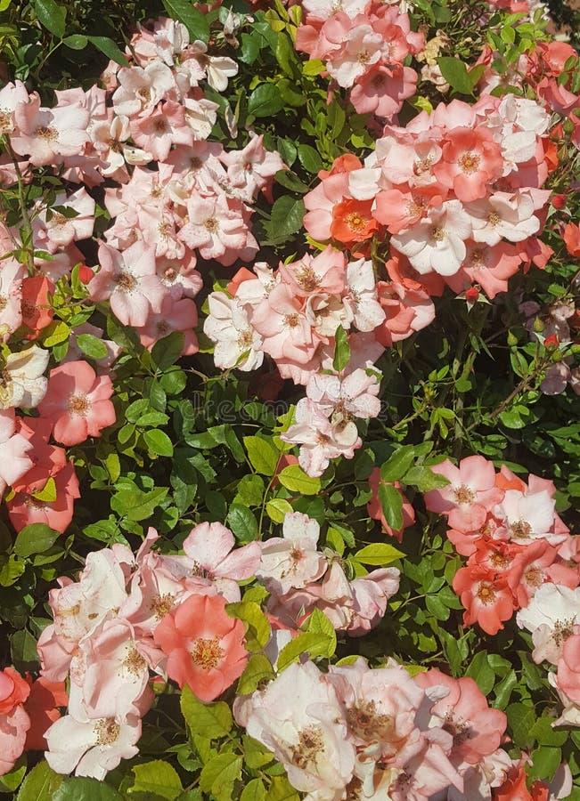 Duizend Bloemenroze in de mediterrane zomer royalty-vrije stock foto