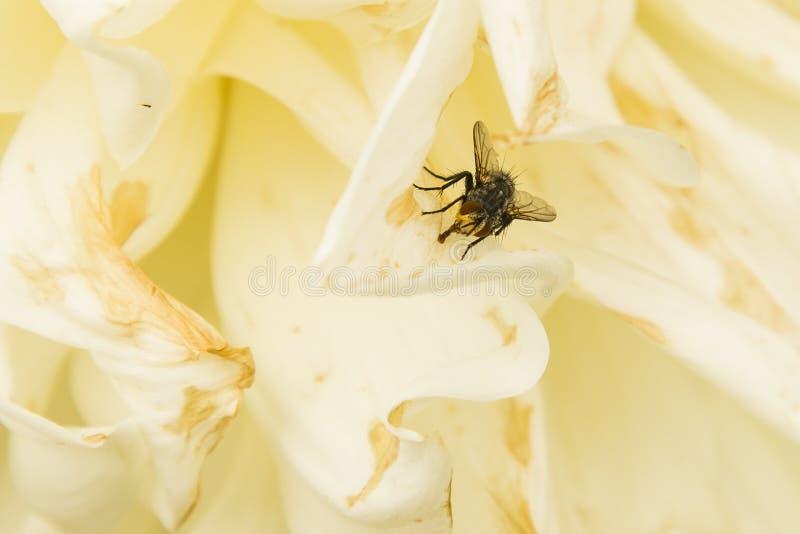 Duizend met Proboscis op Creamy Petals stock afbeelding
