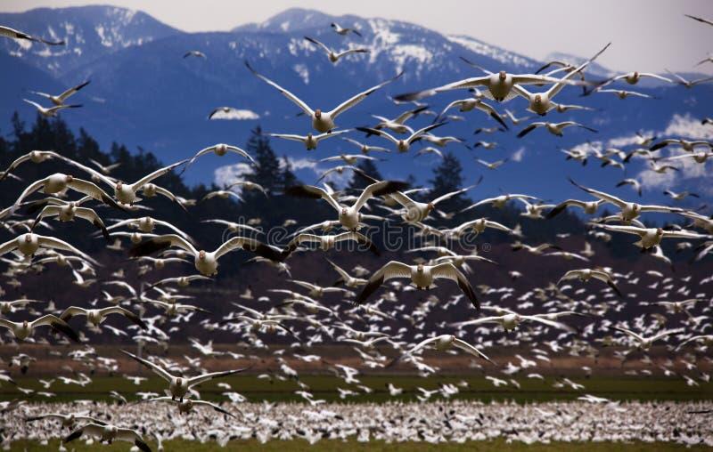 Duizenden Ganzen die van de Sneeuw direct bij u vliegen stock fotografie