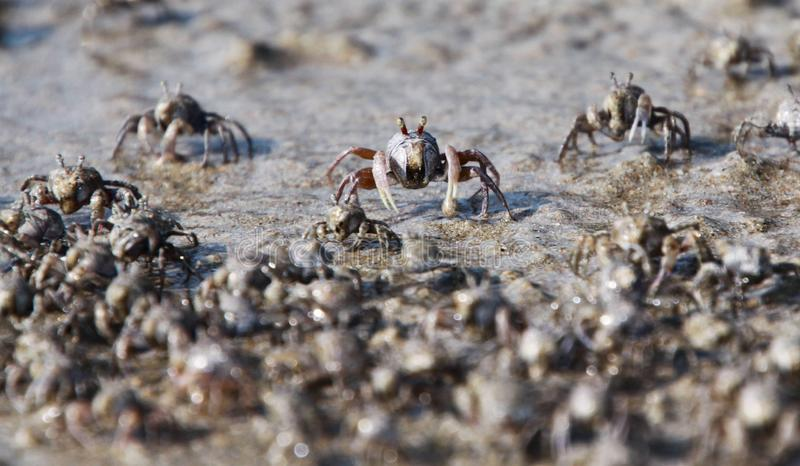 Duizenden van uiterst kleine de krabbentroep van de zandwasfles van het strand in water op tropisch eiland Ko Lanta stock afbeelding