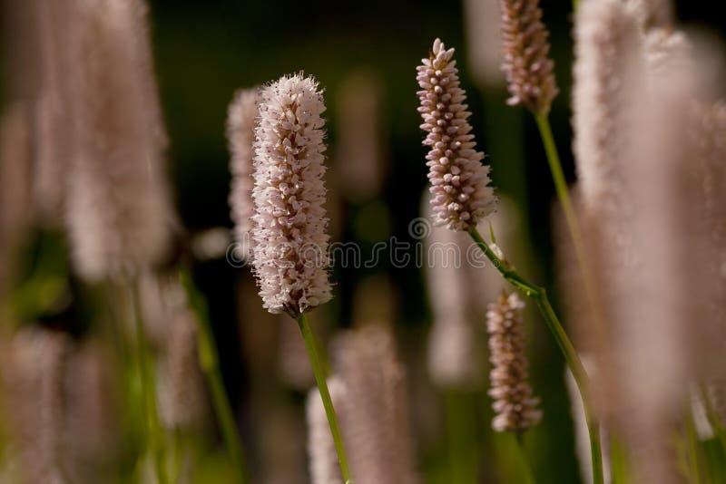 Duizendknoop, Vlies-Blume, Persicaria-affinis lizenzfreie stockbilder