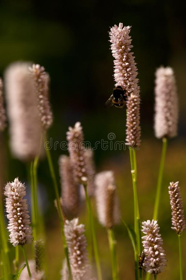 Duizendknoop, Vlies-Blume, Persicaria-affinis lizenzfreies stockbild