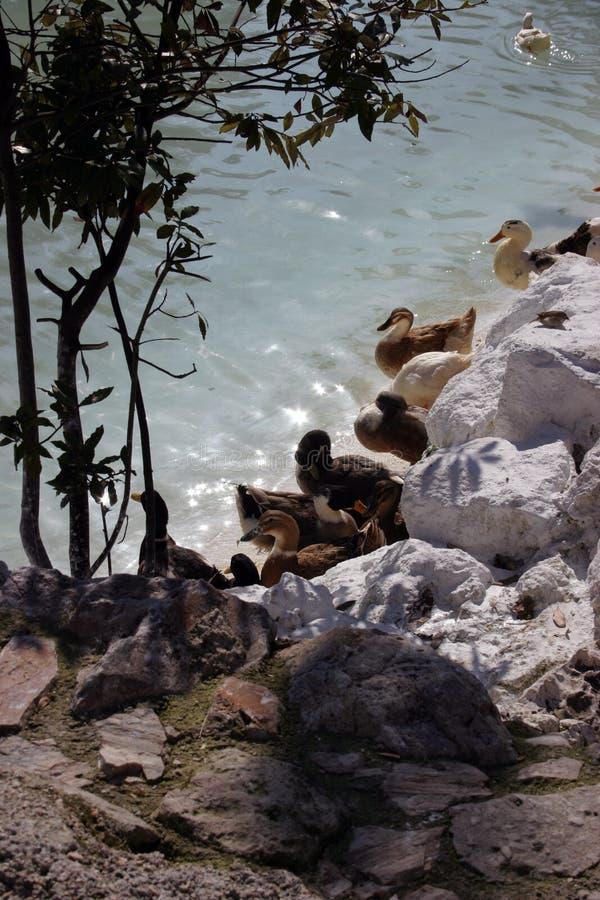 Dukcs Por El Agua Foto de archivo