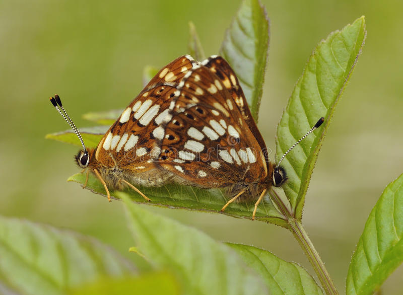 Duke Of Burgundy Butterflies royalty free stock images