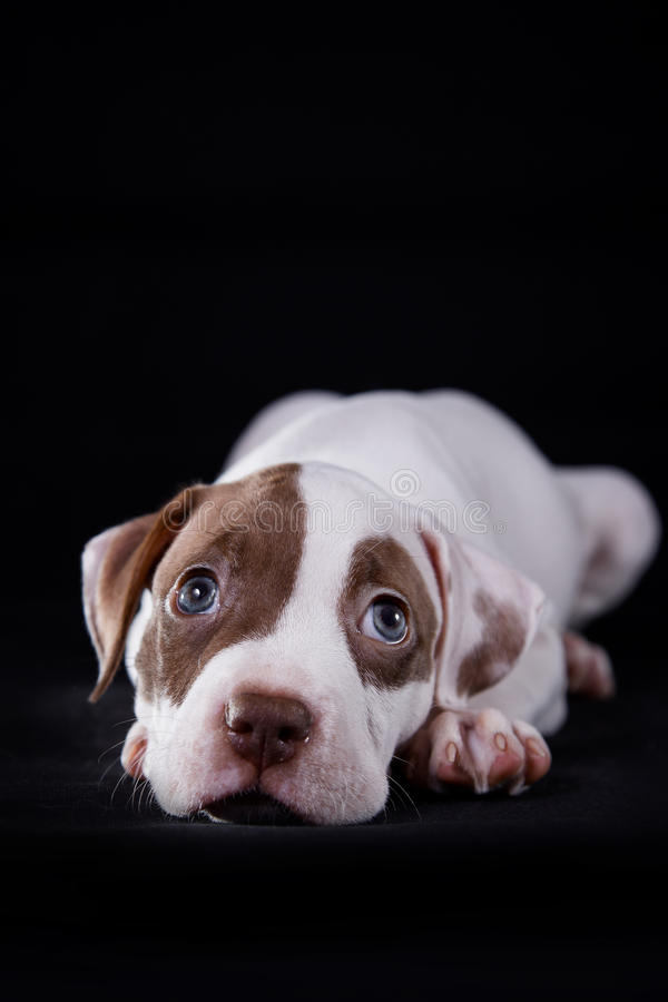 Dulce del perrito del pitbull foto de archivo libre de regalías