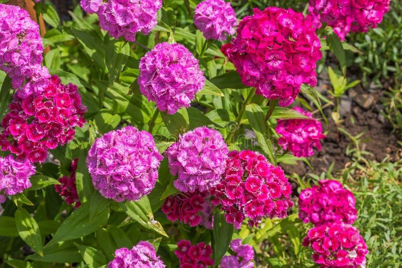 Dulce-Guillermo de florecimiento en el jardín del verano foto de archivo libre de regalías