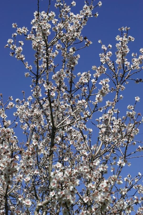 Dulcis de Prunus, soutien-gorge unique fleurissant d'arbre d'amande photographie stock libre de droits