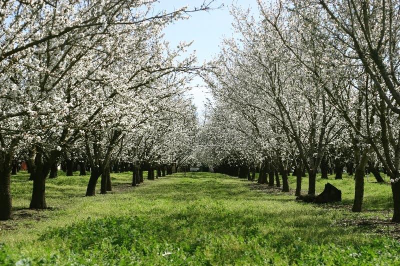 Dulcis del Prunus, reggiseno nonpareil di fioritura dell'albero di mandorla fotografia stock
