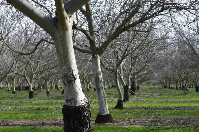 Dulcis do Prunus, sutiã nonpareil de florescência da árvore de amêndoa imagens de stock