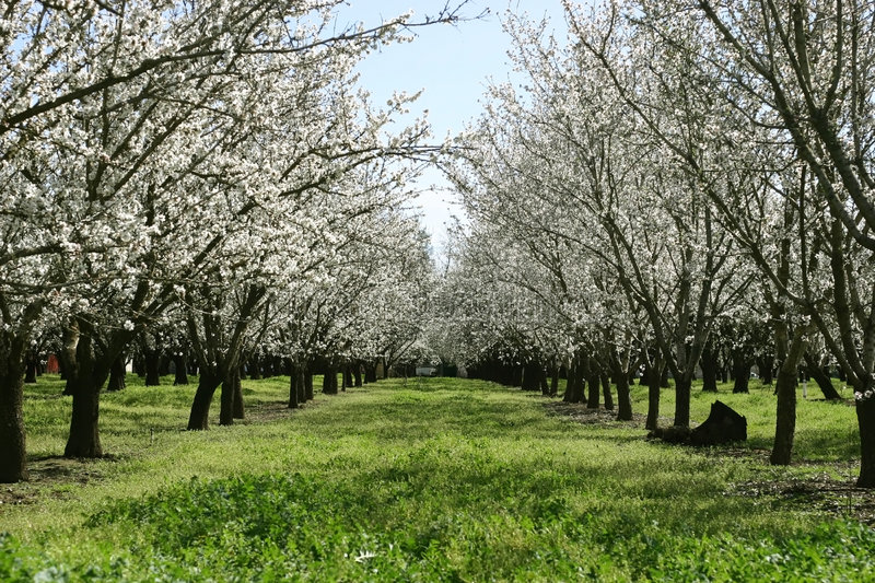 Dulcis van Prunus, de bloeiende nonpareil bustehouder van de amandelboom stock foto