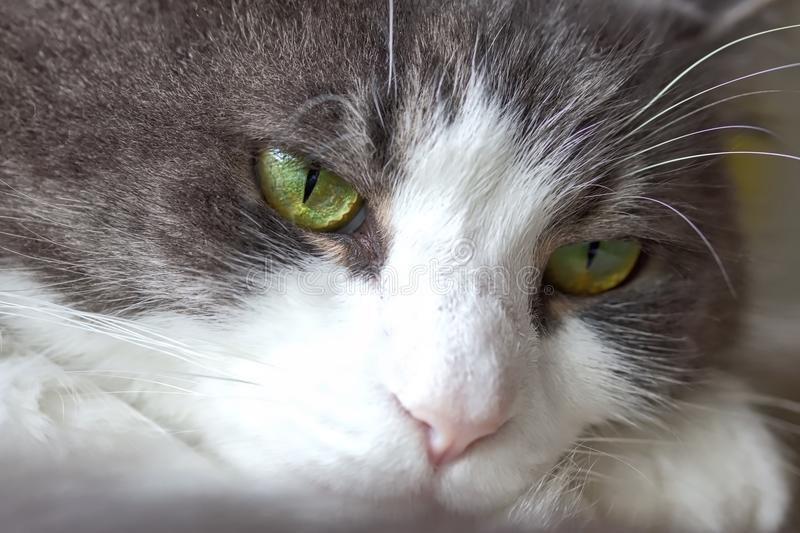 Dull Looking Cat. The close up shot of the dull looking cat stock photo