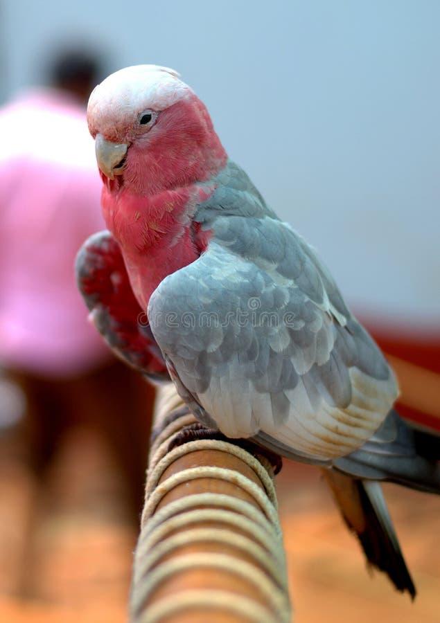 Dull Pink Parrot in Yelagiri royalty-vrije stock afbeeldingen