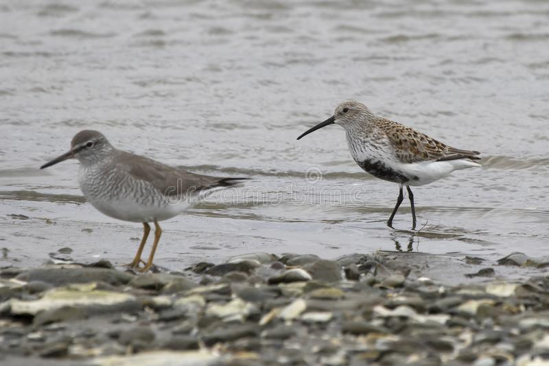 Dulnin and gray-tailed tattler standing on the shallow bank of t. He river on a cloudy day stock photo