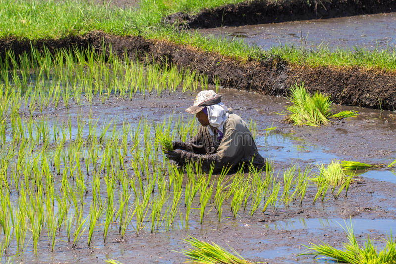 Dumaguete, Φιλιππίνες - 1 Μαΐου 2017: Ένα άτομο σπέρνει τον τομέα με το ρύζι Παραδοσιακή ανάπτυξη ρυζιού στα κουπιά στοκ φωτογραφία με δικαίωμα ελεύθερης χρήσης