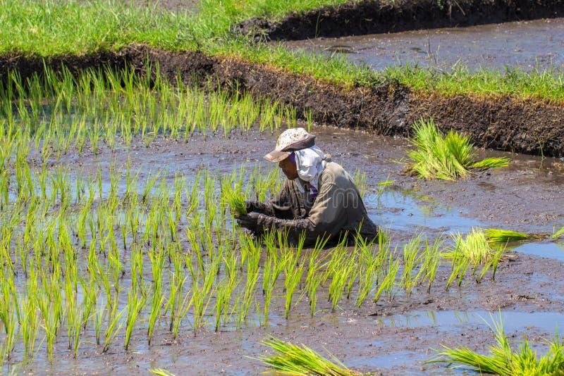 Dumaguete, Philippines - 1er mai 2017 : Un homme sème le champ avec du riz Riz traditionnel s'élevant dans des palettes photo libre de droits