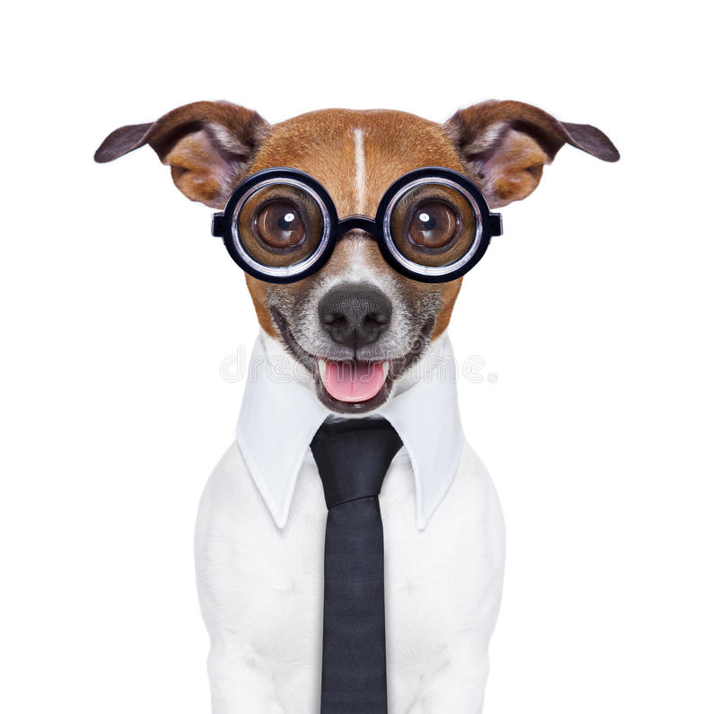 Dumb business dog. With funny glasses and suit royalty free stock images