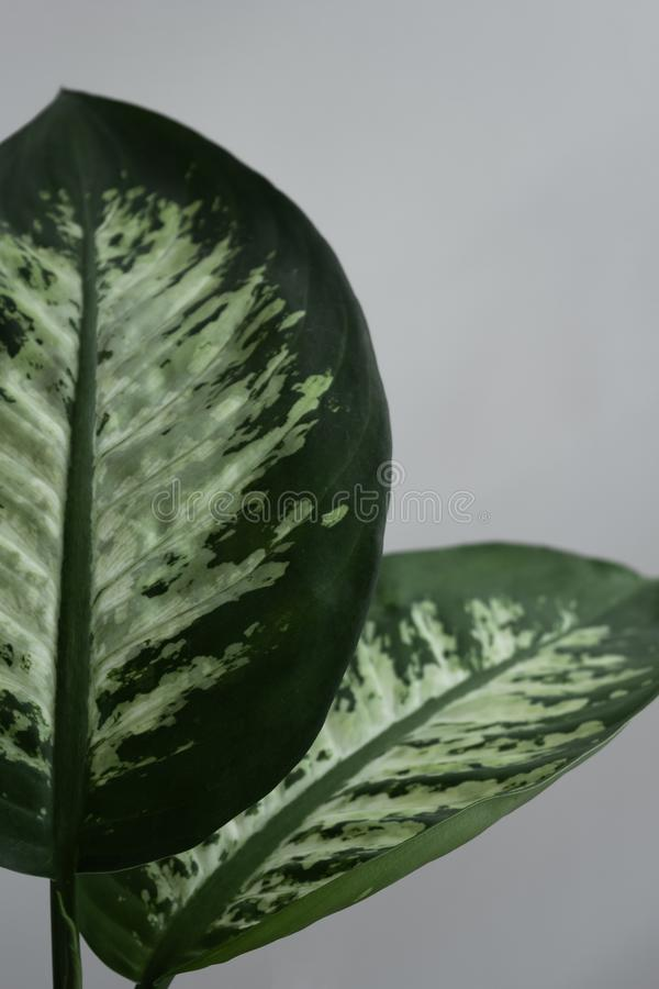 Detail of two Dumb Cane leafs. In a neutral background royalty free stock image