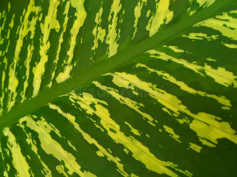 Dumb cane. Dieffenbachia /ˌdiːfᵻnˈbækiə/ is a genus of tropical flowering plants in the ... Its common name, & x22;dumb cane,& x22; refers royalty free stock image