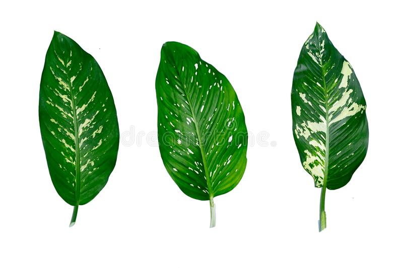 Dumb Cane, Dieffenbachia, Green Leaves royalty free stock photos