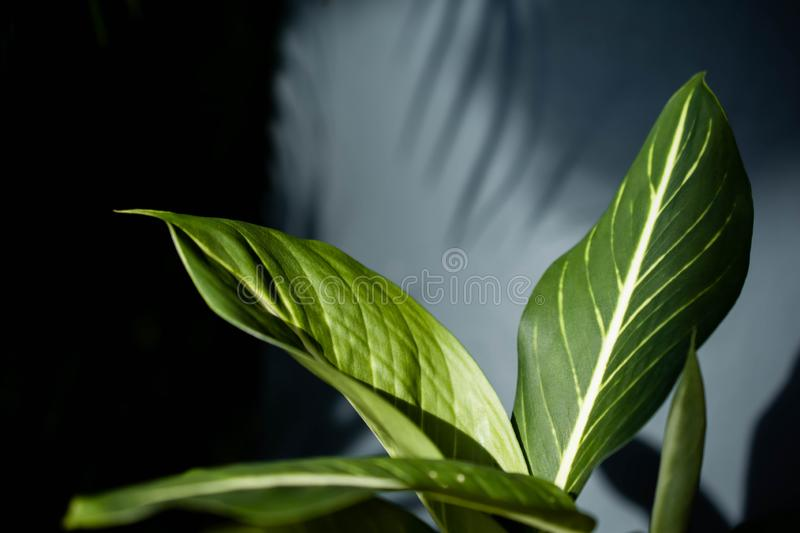 Dumb Cane or Dieffenbachia Tropical Green Leaf in Summer Light. Sunlight made Shadow of Foliage Shading to the Wall. Selective royalty free stock images