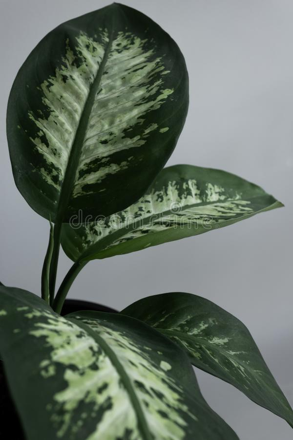 Dumb Cane Leafs stock photography
