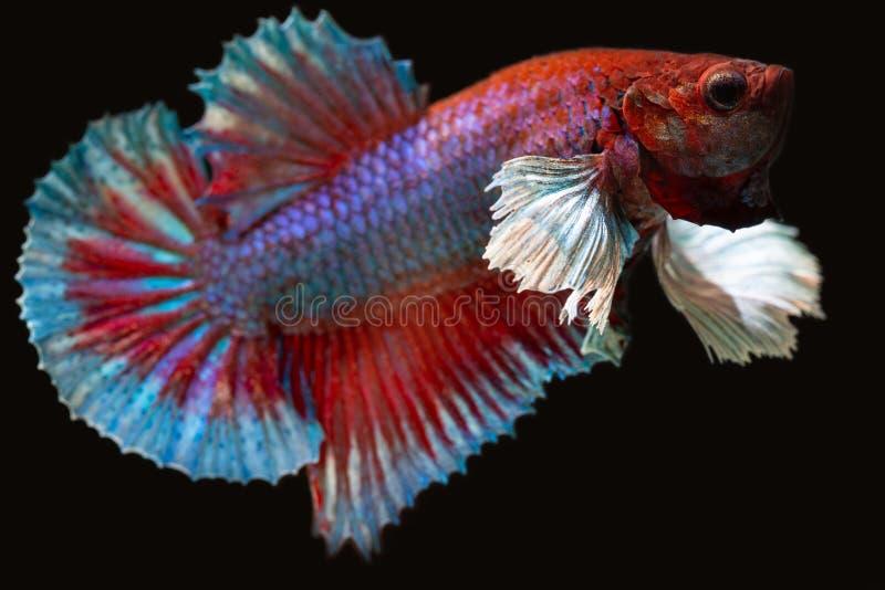 Dumbo plakat betta fish stock photography