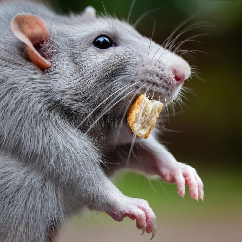 Dumbo rat muzzle close-up. The rat holds a piece of bread in his mouth. Funny fat pet royalty free stock image