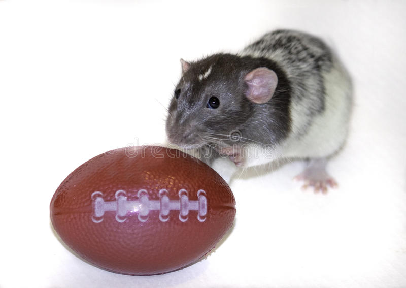 Dumbo Rat playing with a football. A baby dumbo rat playing with a toy football stock photography