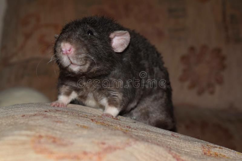 Dumbo rat royalty free stock photo