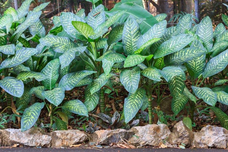 Dumbplant z pięknym białym błyskotanie liściem obrazy stock