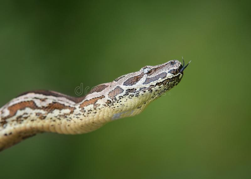 Dumeril's蟒蛇Acrantophis dumerili 图库摄影