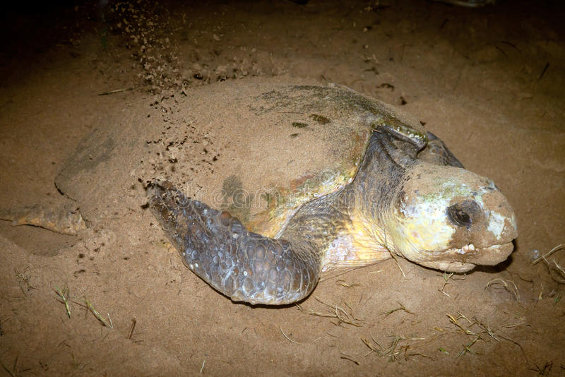 Dummkopf-Schildkröten-Verschachtelung auf Sand-Montag-Repos Bundaberg Australien stockbild