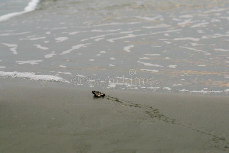 Dummkopfmeeresschildkröte Hatchling fast zum Meer lizenzfreie stockfotografie