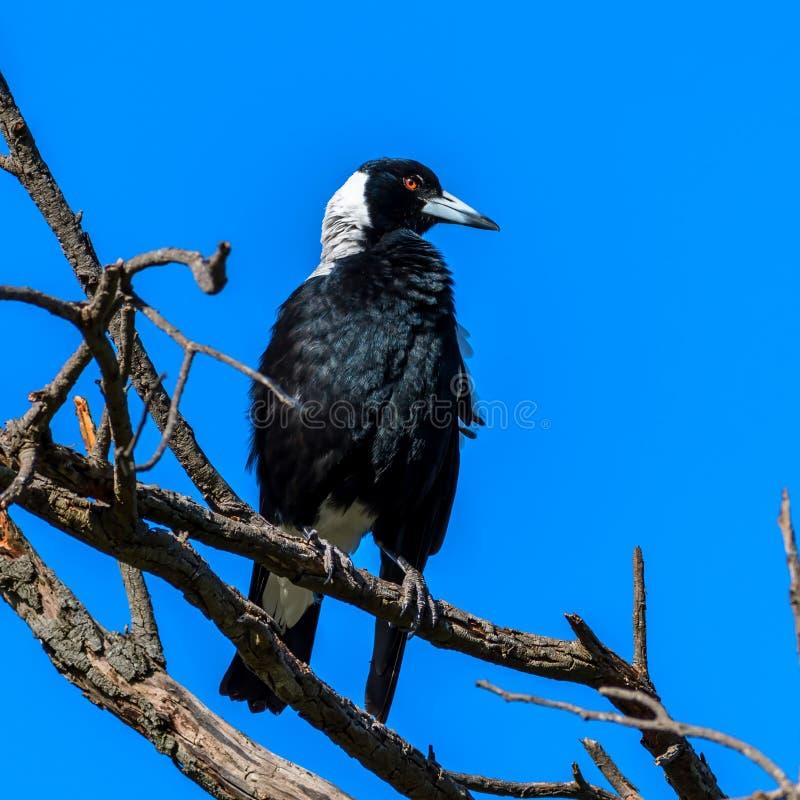Dumny Australijskiej sroki ptak w drzewie przed jasnym niebieskim niebem obraz royalty free