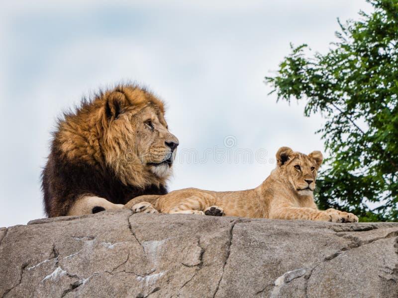 Dumny lew i lwica zdjęcie royalty free