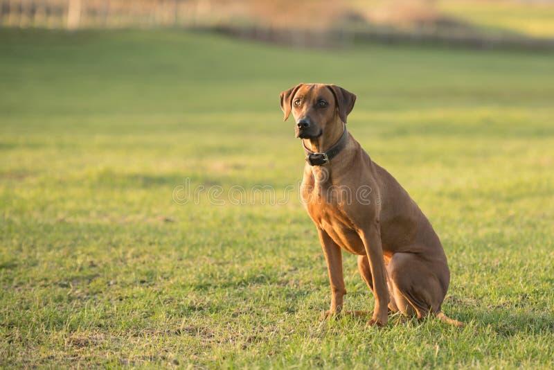 Dumny Rhodesian Ridgeback pies siedzi na zielonej łące przeciw zamazanemu tłu obrazy stock