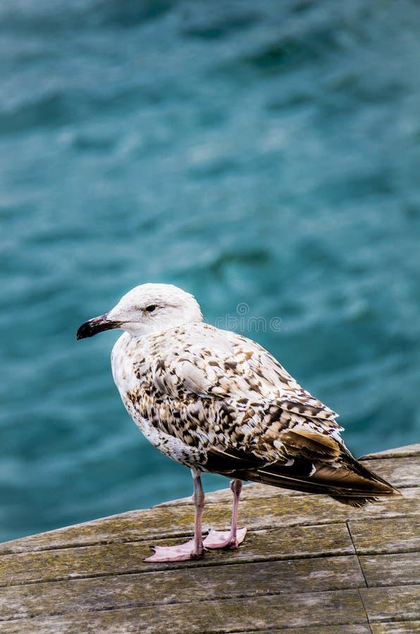 Dumny Seagull zdjęcia royalty free