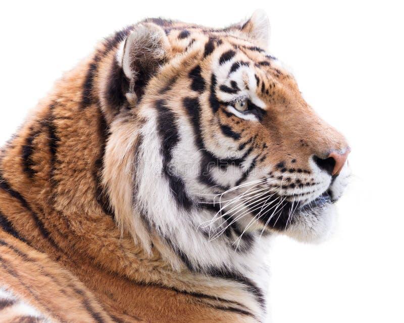 Dumny tygrys obrazy royalty free