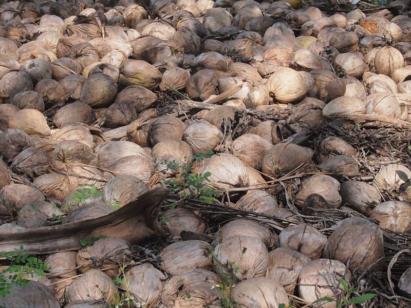 Dump of coconuts stock photo