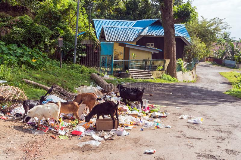 Goats look for food in garbage stock image
