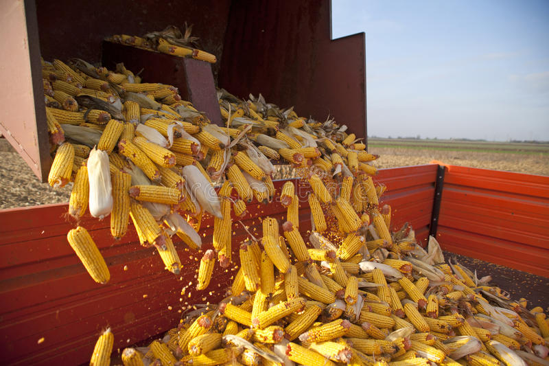 Dumping the corn cobs. To tractor trailer during harvest royalty free stock image