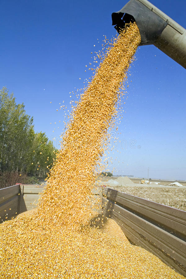Dumping corn seeds. At tractor trailer stock photos