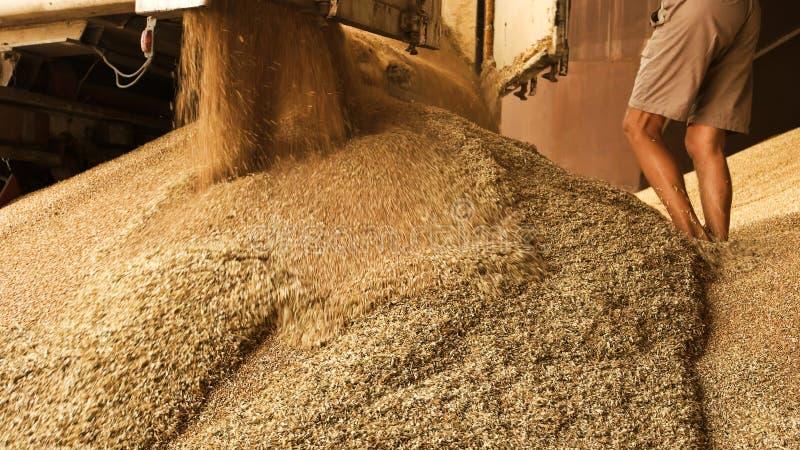 Dumping du grain dans l'installation de stockage photos libres de droits