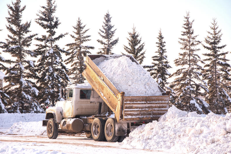 Dumping a load of snow. A gravel truck with the box lifted to dump a load of snow behind a row of spruce trees in a winter landscape stock photo