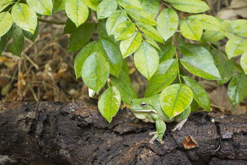 Dumpy лягушка, древесная лягушка, древесная лягушка Папуа зеленая стоковое изображение rf