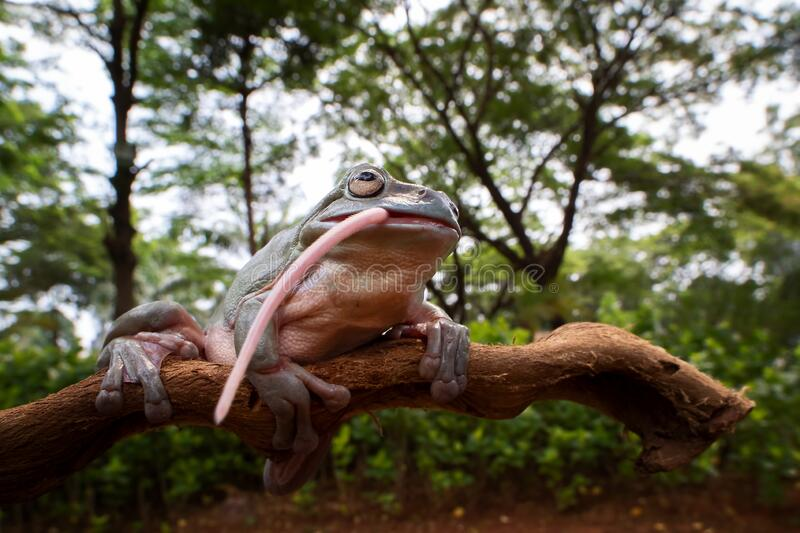 A Dumpy frog in wide angle view finishing the big meal royalty free stock photo