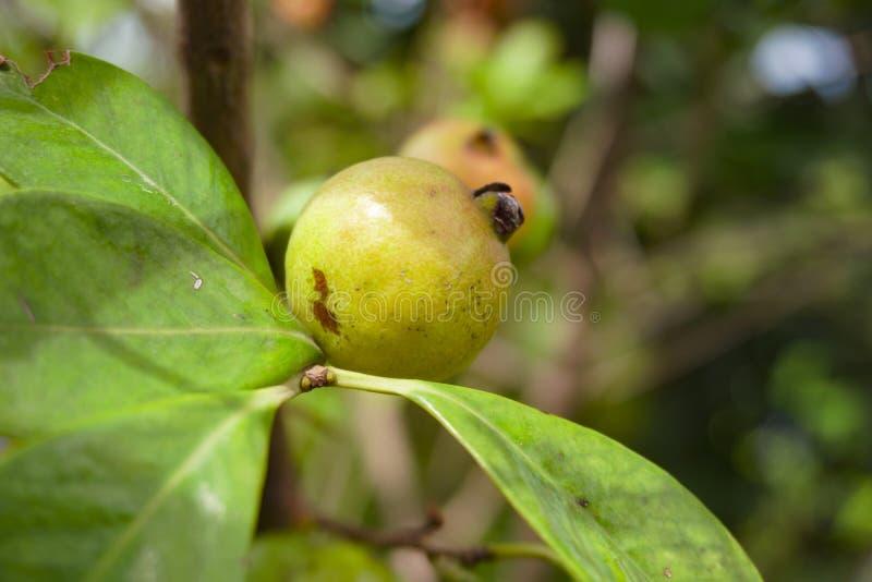 Dumur o Dumur in Bangla Ficus carica Hairy fig, ficus hinvda, Cluster fig tree - Flora of Bangladesh immagini stock