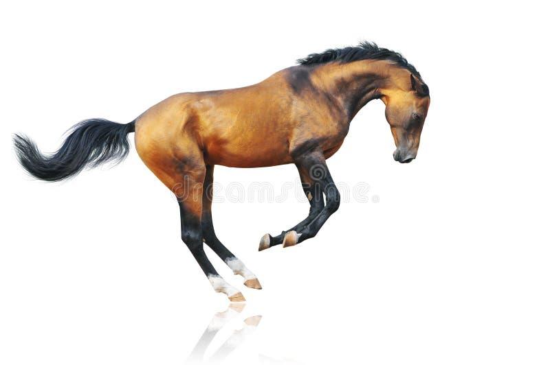 Dun akhal-teke horse on white royalty free stock photo