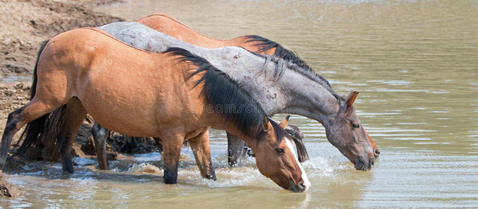 Dun Bucksin mare drinking water with herd small band of wild horses at the waterhole in the Pryor Mountains Wild Horse Range in stock photo