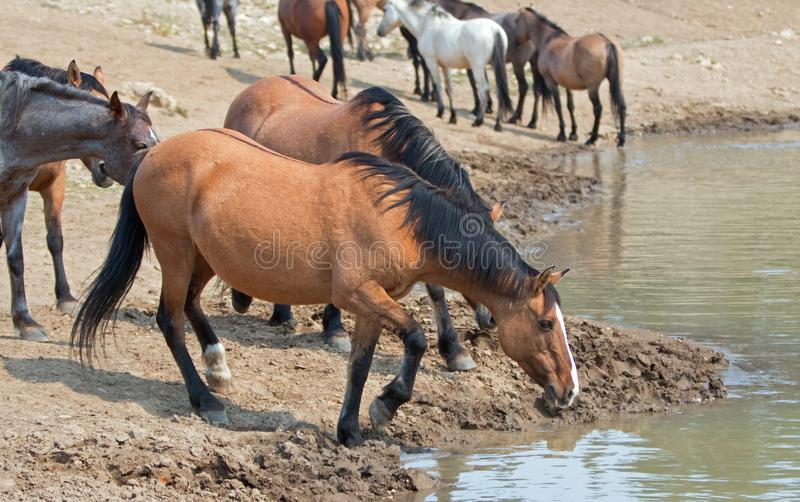 Dun Bucksin mare drinking water with herd of wild horses at the waterhole in Pryor Mountains Wild Horse Range in Montana USA. Dun Bucksin mare drinking water royalty free stock images